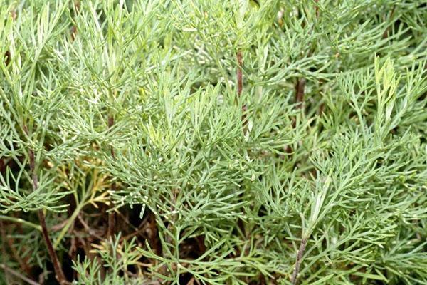 лечебное растение на участке