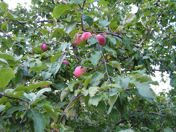 уход за яблоней Грушовка московская
