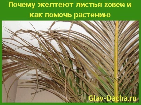 почему желтеют листья ховеи