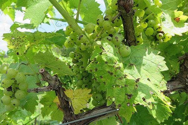 антракноз винограда поражает листья, ягоды