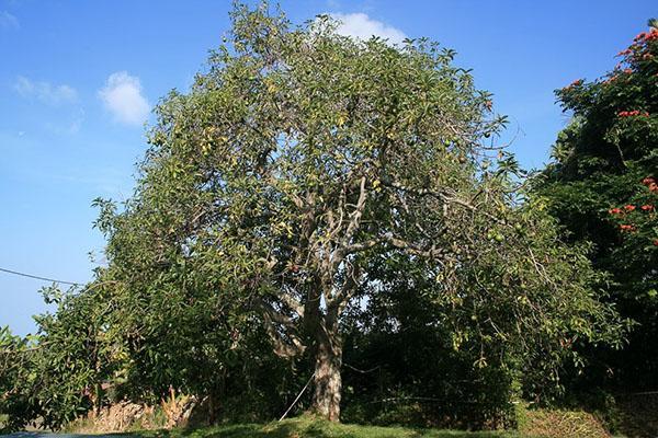 авокадо дерево в дикой природе