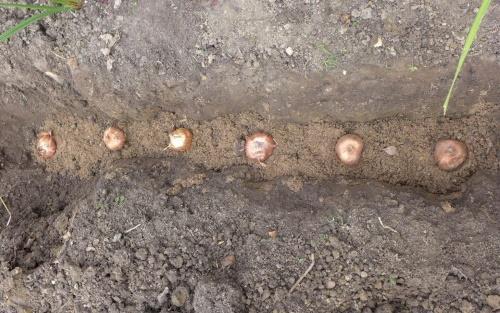 иксия метельчатая посадка луковиц