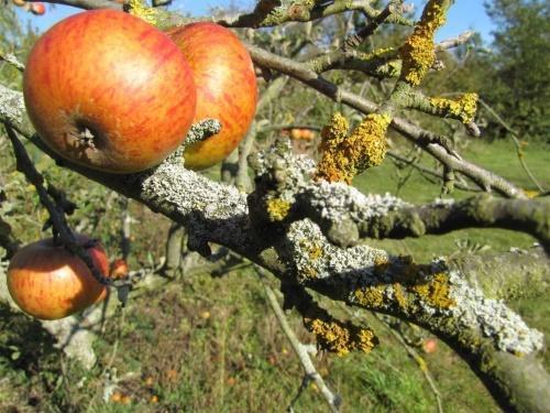 как избавиться от лишайников на плодовых деревьях