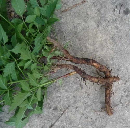 кампсис из корневой поросли