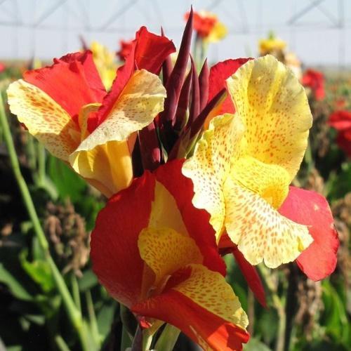 цветение канны