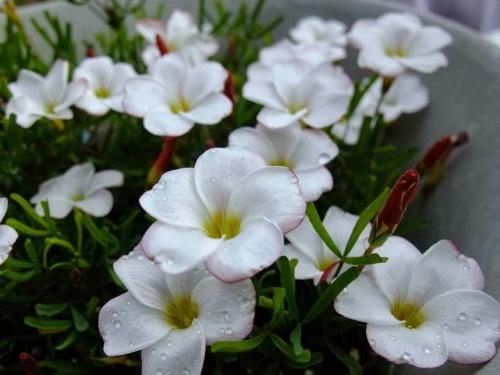 цветение кислицы