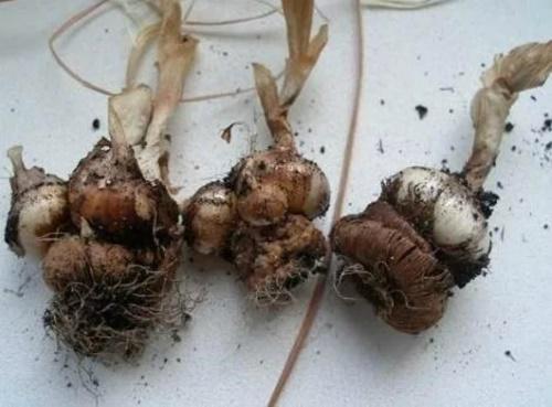 луковицы после цветения