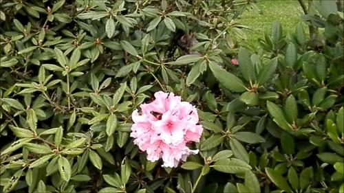 мало цветов на рододендроне
