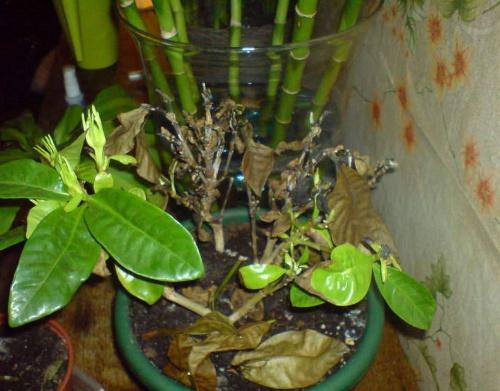 почему чернеют и опадают листья у гардении жасминовидной