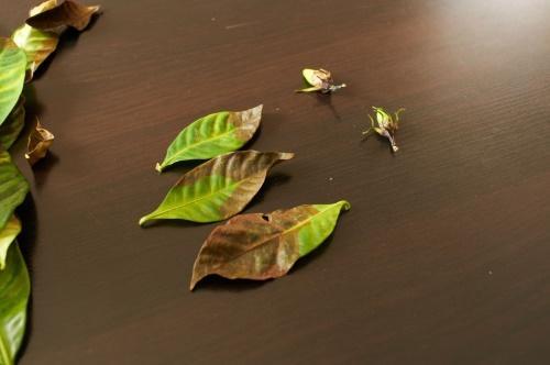 опавшие листья гардении