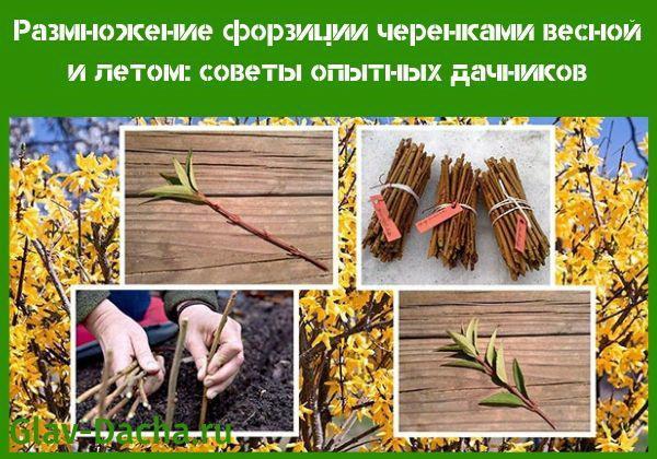 размножение форзиции черенками весной
