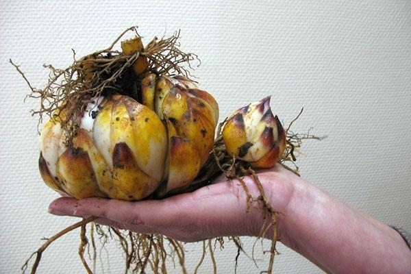 большая луковица лилии