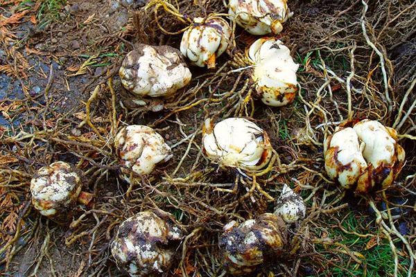 подготовка луковиц к размножению