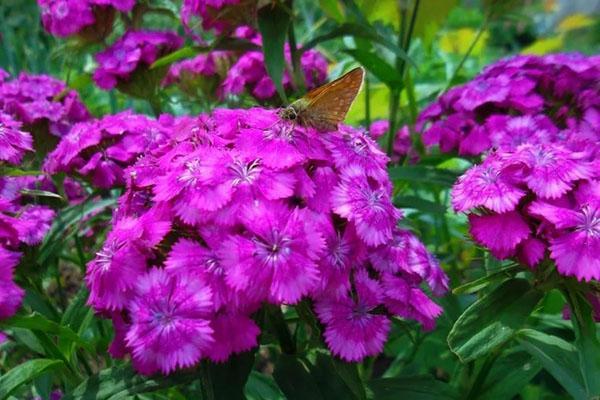 турецкая гвоздика сорта Фиолетовая гора
