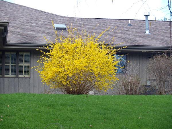 цветет желтый кустарник форзиция