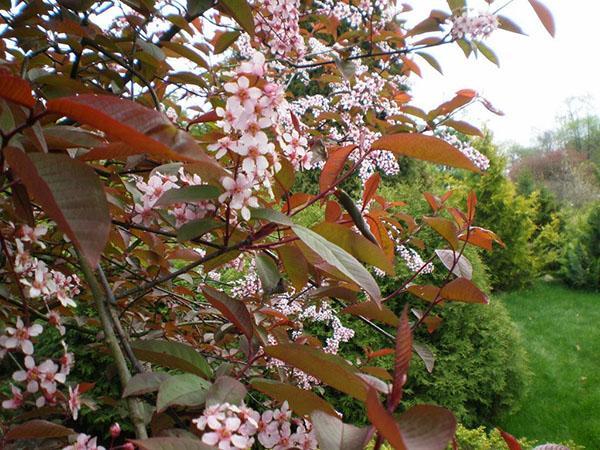 цветет черемуха краснолистная