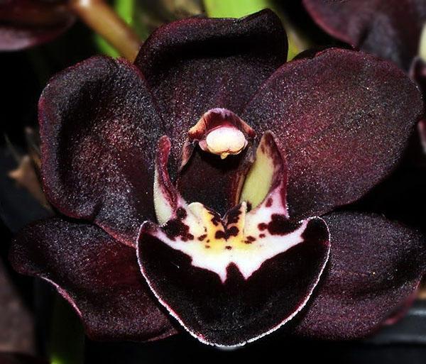 близкое знакомство с черной орхидеей