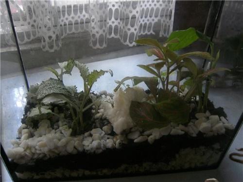 аквариум с фиттониями