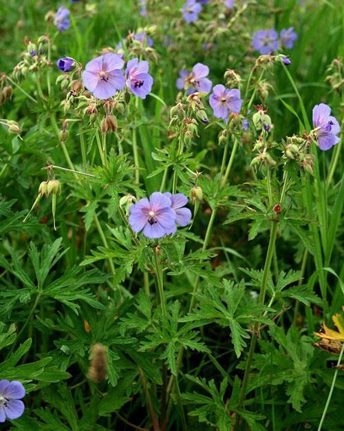 цветет лесная герань