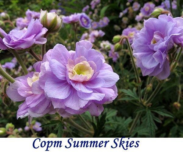 Сорт Summer Skies
