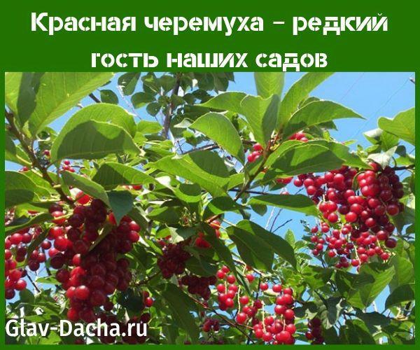 krasnaya-cheremukha-1a.jpg