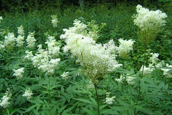 полезные свойства растения лабазник