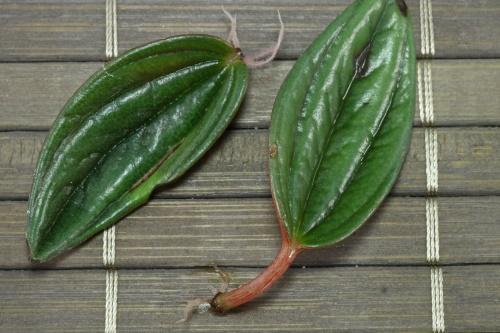 размножение пеперомии листом