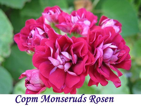 Розебудные пеларгонии: описание и уход