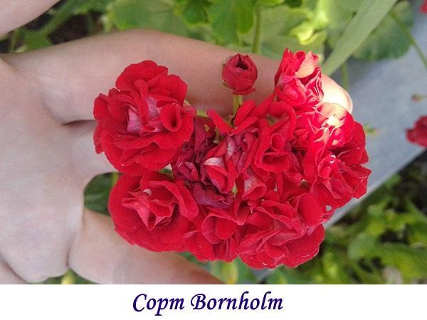 Сорт Bornholm