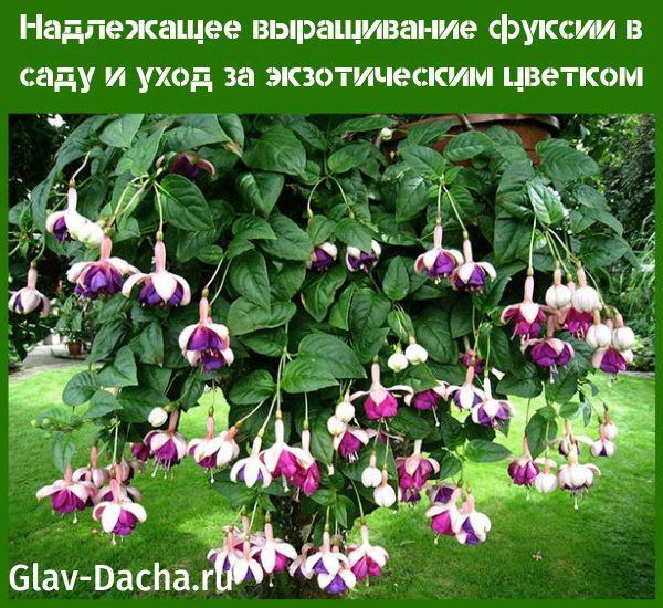 выращивание фуксии в саду и уход