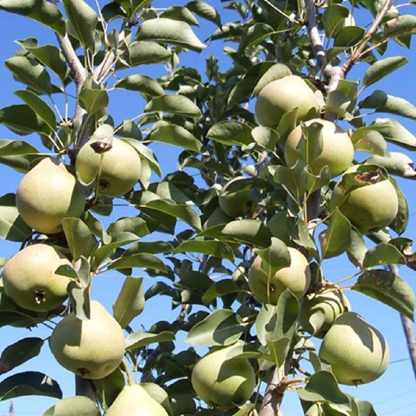 Грушевое дерево с плодами