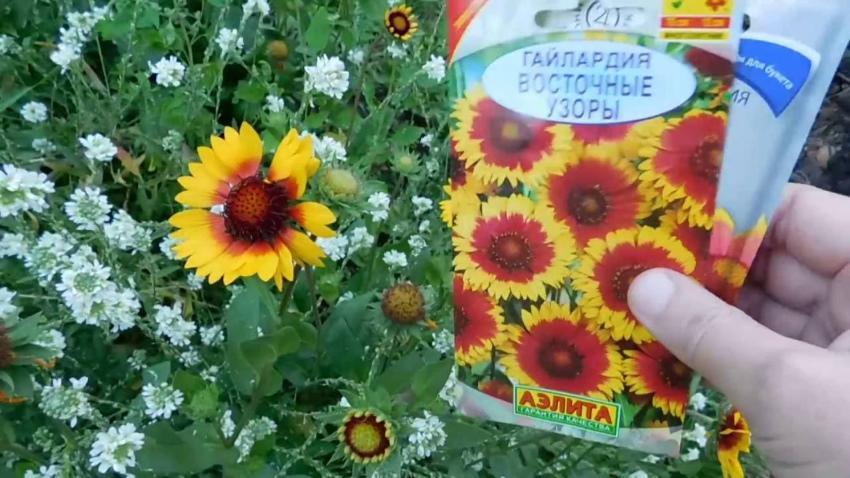 Гайлардия многолетняя - посадка и уход, выращивание из семян в домашних условиях
