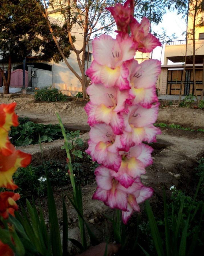 цветение присциллы