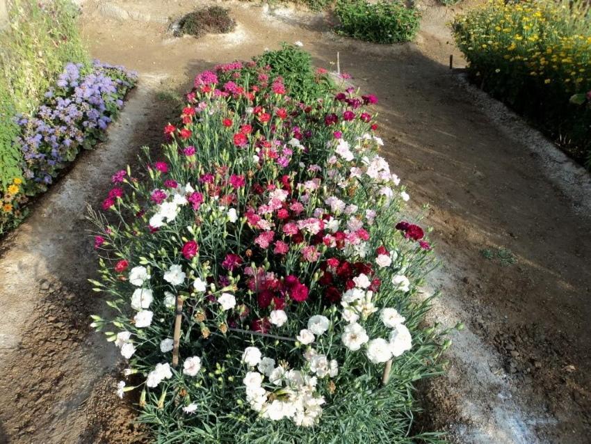 как выращивать гвоздику шабо в саду