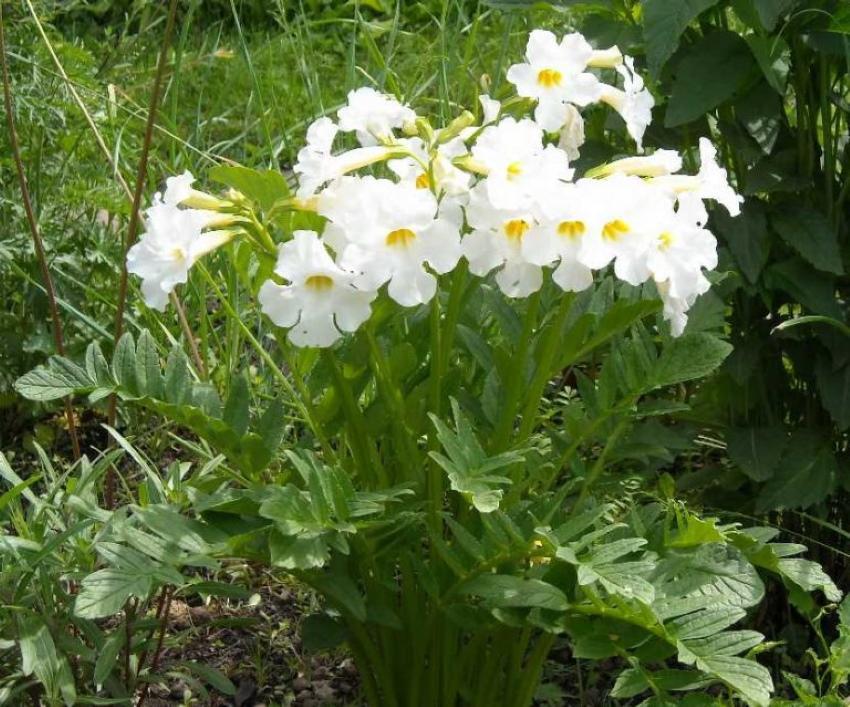 цветение инкарвиллеи