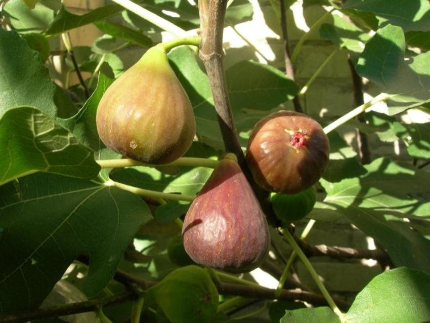 плоды инжира брунсвик