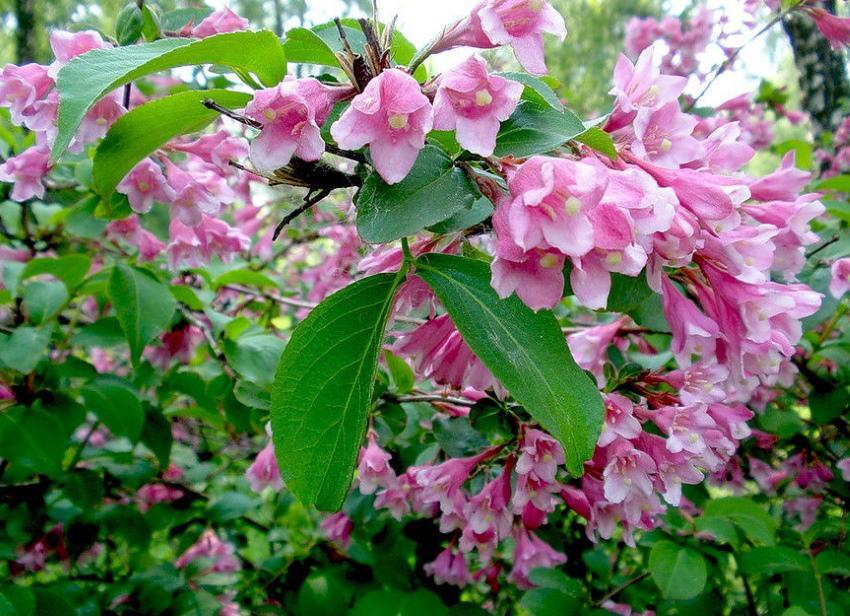 вейгела розеа