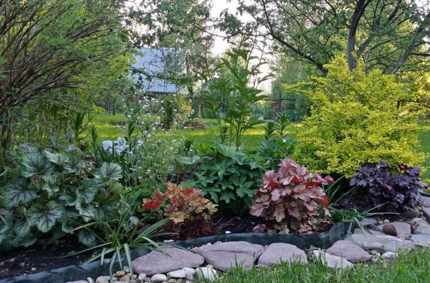 как выращивать гейхеру в саду