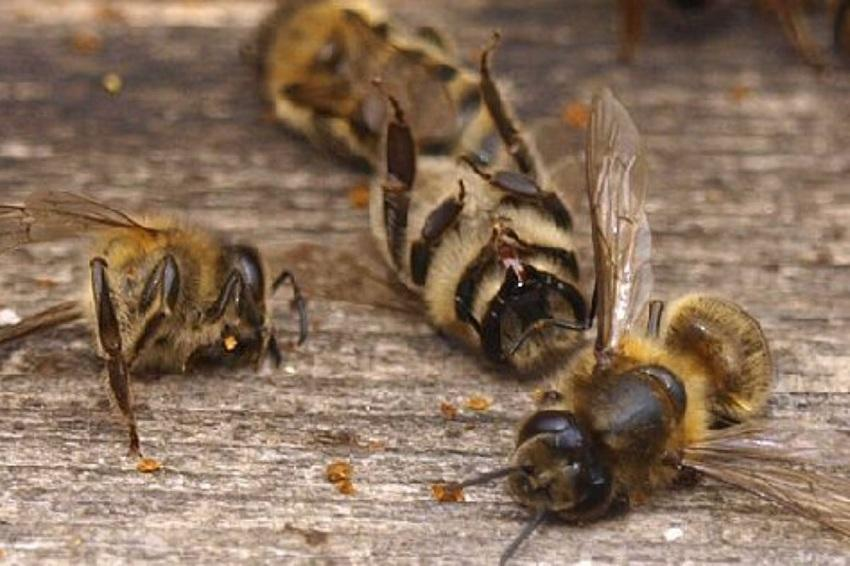 Пчелиная смертность