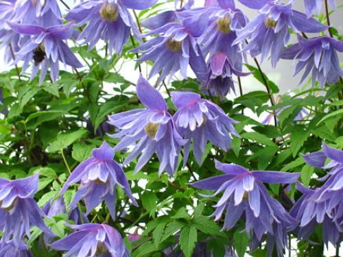 цветение сесили