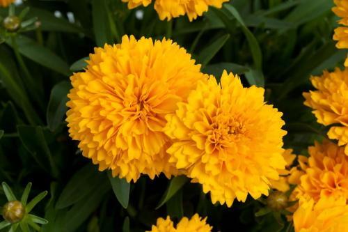 цветок кореопсиса