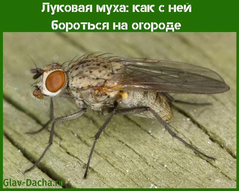 луковая муха как с ней бороться