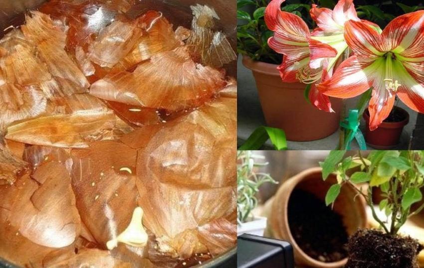 луковая шелуха для комнатных цветов