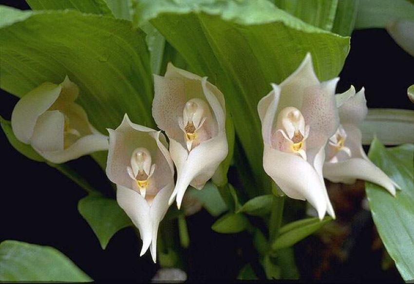 цветки ангулои