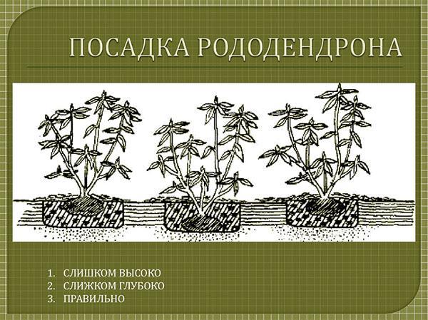 Рододендроны для средней полосы России