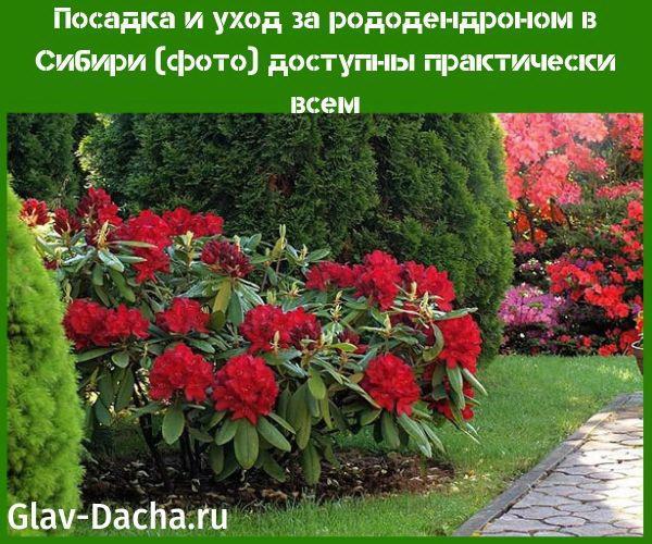посадка и уход за рододендроном в Сибири фото