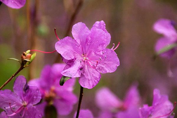 нежное цветение рододендрона