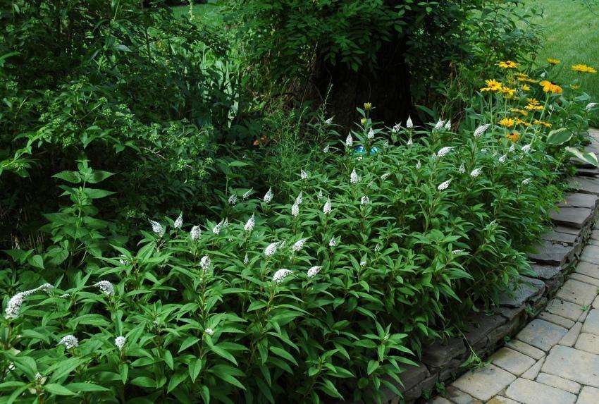 вербейник в саду