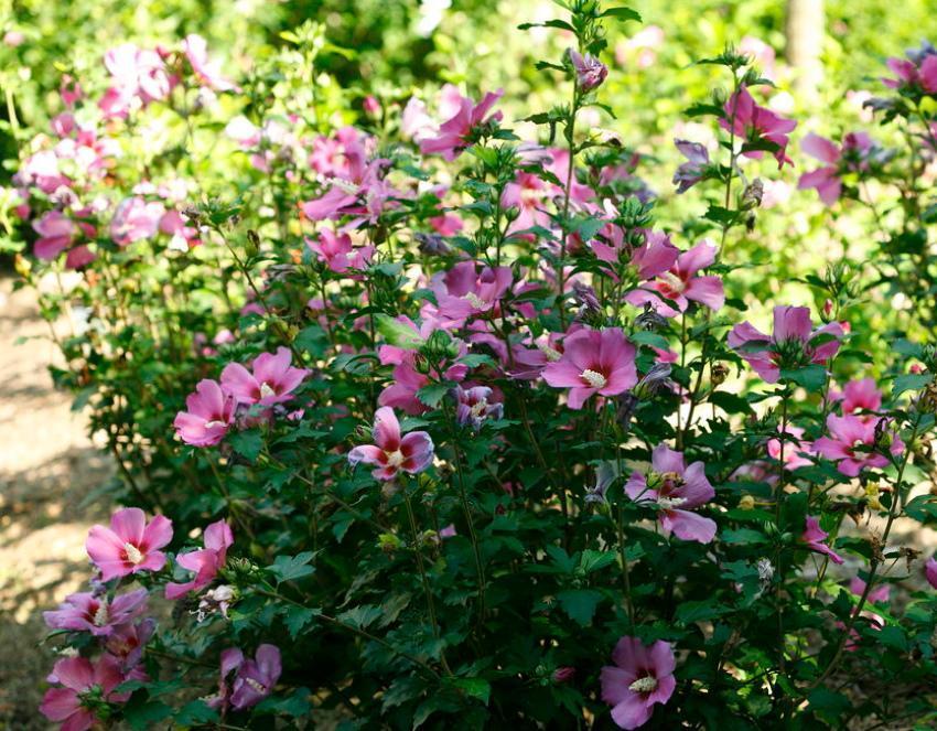 выращивание гибискуса садового
