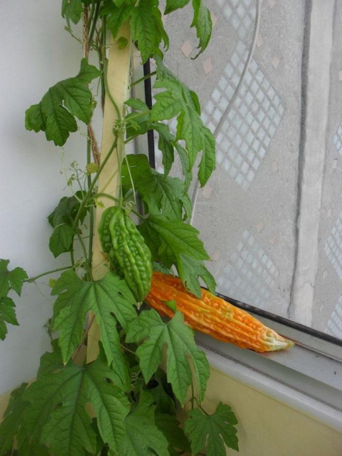 выращивание момордики в домашних условиях